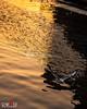 (OwaisPhotography (www.facebook.com/owaisphotos)) Tags: lighting light motion birds festival canon flying action uae decoration sharjah seagul 2014 650d owaisphotography gettyimagespakistanq12012 gettyimagesmiddleeast rebelt4i