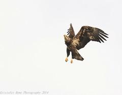 Sub-Adult Bald Eagle 2_25 2 (krisinct- Thanks for 12 Million views!) Tags: eagle flight bald nikond7100sigma120300exdgapoos