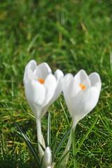 Pavilion_Gardens_0049 (Peter-Williams) Tags: uk flowers garden sussex countryside brighton crocus daffodil parkland carmelia paviliongardens