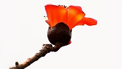 Polash (Sougata2013) Tags: summer india flower spring nikon mandi himachal himachalpradesh nikond3200 polash dhuandevi