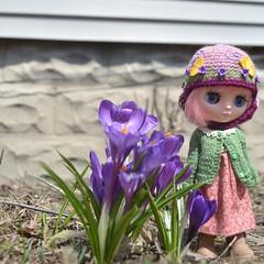 A welcome Spring (Jemjoop Blythe/BJD) Tags: flower spring crocus blythe francoise ananassa middie