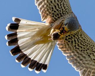 Faucon Crécerelle - European Kestrel