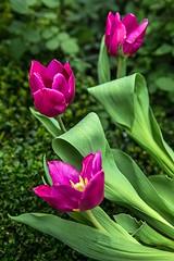 Tulipmania 2014 @ GBTB (gintks) Tags: flower singapore tulips flowerdome gardensbythebay singaporetourismboard