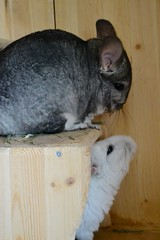 Hay Noms (Vegan Butterfly) Tags: cute animal fur rodent furry eating adorable whiskers chinchilla hay adopted