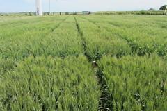 Syngenta in campo - BigEvent Cereal Plus 2014 5512 (Image Line) Tags: cereals agricoltura foggia cereali cerealicoltura cerealplus20 syngentaincampo2014