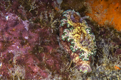 Glossodoris Cinta (Born Amin) Tags: macro canon underwater malaysia tioman strobe canon100mmmacro seaslug nudi underwaterphotography nexushousing canon5dmkiii ikeliteds161 nudibranchspecies glossodoriscinta