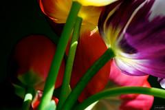 tulips ~ Michigan (j van cise photos) Tags: flowers light color gardens tulips pov blossoms mostfavorited blooms afsdxzoomnikkor18135mmf3556gifed continentalunitedstates nikond7100 pressltoenlarge