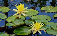 131_1008 (J Rutkiewicz) Tags: flower yellow flora waterlily kwiaty ty manufar