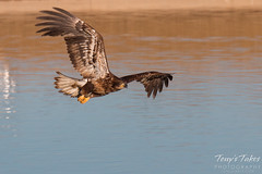 Juvenile Bald Eagle does a low level flyby