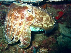 cuttelfish (DOLCEVITALUX) Tags: philippines diving batangas cuttlefish scubadive canonpowershota610