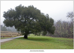 Quail Hollow Oak (Sherwood Harrington) Tags: california mist tree green rain fog oak quailhollow