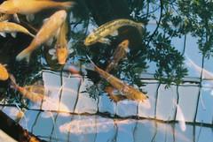 0085_18 (www.cjo.info) Tags: fish plant reflection slr film water animal fauna 35mm scotland pond flora edinburgh pentax kodak unitedkingdom carp analogue glasshouse manualfocus hothouse royalbotanicgardenedinburgh bayonet pentaxsupera kodakportra160 pentaxk pentaxsuperprogram inverlieth geocity exif:make=fujiphotofilmcoltd smcpentaxa50mmf12 camera:make=fujiphotofilmcoltd geostate geocountrys camera:model=sp3000 exif:model=sp3000 geo:lat=55966725 geo:lon=320695