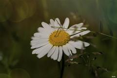 Sommertraum (Katz-Ffm) Tags: flower nature germany deutschland hessen blossom frankfurt meadow wiese blume tamron 90mm blte buga margerite sommertraum nikond5300