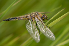 Four Spotted Chaser (Des Daly) Tags: ireland lake macro grass four dragonfly cork spotted chaser fourspottedchaser ballyhonnock