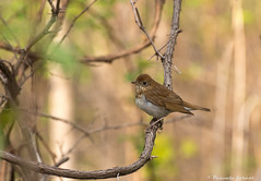 Grive fauve! (pascaleforest) Tags: bird spring nikon passion printemps oiseau matin natire lonprovencher grivefauve