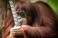 Orang (Thoober) Tags: portrait orange eye smile face canon eos zoo gesicht ape tamron auge dortmund blick 70d zoodortmund 150600 tamron150600