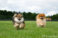 5.12.2016 The Poms (kmmorgan1977) Tags: dogs oregon happy spring smiles milwaukie pomeranians 2016 geminisleothelionhearted 12mfd geministhegoldengirlsophia 12monthsfordogs16