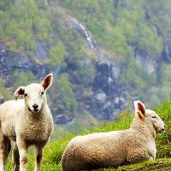 Ovejaconejo (Elisa-) Tags: verde conejo campo noruega geiranger norwei ovejaconejo