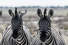 Zebras (FelixF.) Tags: bw zebra namibia etosha 2016