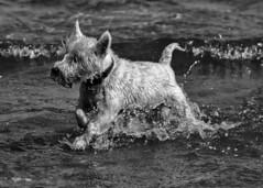 Dog days 3 (adrian.sadlier) Tags: westie westhighlandwhiteterrier northbullisland water sea cooling splash waves