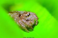 Female Jumping Spider (Salticidae) (ironmember) Tags: macro verde female spider jumping raw occhi foglia dettagli insetto giardino pdc ragno particolari caccia salticidae allaperto profonditdicampo agguato saltatore capturenx2