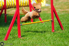 Wystawa_witojaska_2015-59 (Dominik Rzsa) Tags: show dog pet animal speed nikon outdoor agility tamron 70200 fci internationale fdration d300s cynologique