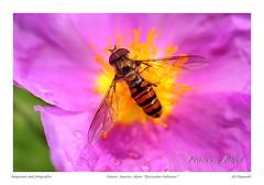 _DSC4629 Episyrphus balteatus.-.JPG-facebook (Francesc.Bajet) Tags: insects natura macrofotografia episyrphusbalteatus invertebrado dipter