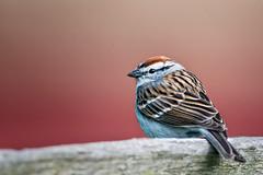 Web chipping sparrow (mtschappat@verizon.net) Tags: park new photoshop lens nikon national sparrow jockey jersey historical nik morristown 500mm hollow d800 chipping