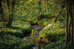 Stoneycliffe Beck (Aidan Mincher) Tags: uk trees green water landscape stream beck southyorkshire splittone wildgarlic stoneycliffe