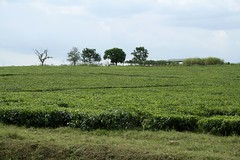 Tea (My photos live here) Tags: africa road trip plant green field leaves canon eos tea fort journey crop portal growing uganda 1000d