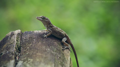 Anole (Roberto Lee Cortes) Tags: nature puerto raw minolta bokeh sony lizard rico 70210 a55