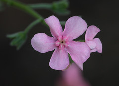 Pink Stickseed (Hackelia mundula) (Ron Wolf) Tags: california flower macro nature nationalpark sierra yosemitenationalpark wildflower boraginaceae mariposacounty hackeliamundula pinkstickseed