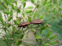 Graphosoma lineatum (Hannah E. Davis) Tags: red plant black flower nature animal sex bug garden insect mating biology reproduction striped behaviour hemiptera