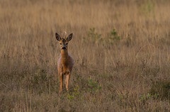 Roe-Deer-1686 (Kulama) Tags: morning nature wildlife deer roedeer thursleyreserve