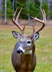 Buck (htaylor27) Tags: ontario canada nature wildlife resort deer antlers buck narrows whitetailed sioux tomahawk