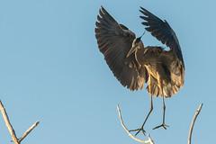Touching Down (Robin-Wilson) Tags: heron landing