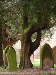 Hand eye coordination (Nekoglyph) Tags: trees tree green eye graveyard leaves stone hole branches yorkshire historic ring bark gravestone trunk curved oldchurch holycross whorlton