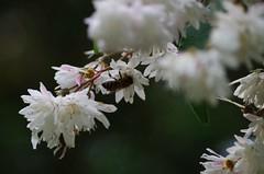 Abeille - Toulouse (31) (FloLfp) Tags: nature fleur pentax bee toulouse 31 abeille flore faune