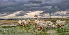 Bunch of Geese (tonmoy_rahaman) Tags: sky cloud lake bird nature animal skyline skyscape landscape geese duck outdoor wide goose crisp hdr