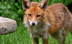 Irresistible appeal... (Ian A Photography) Tags: nature animals nikon wildlife fox mammals redfox animalbehaviour ukwildlife goldwildlife britishanimals
