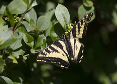Canadian Tiger Swallowtail_ Butterfly_4472 (Mike Head - Jetwashphotos) Tags: canada butterfly bc britishcolumbia delta hedge resting swallowtail westerncanada canadiantigerswallowtail westernregion