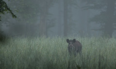 Jour de brouillard 2 (Eric Penet) Tags: wild france nature animal fog forest mammal wildlife mai boar printemps brouillard fort nord mammifre sauvage faune sanglier laie avesnois mormal locquignol