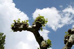 Marronnier dans le ciel (Lesud07) Tags: sky cloud tree ciel nuage arbre marronnier