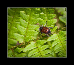 Scarab beetle (tkimages2011) Tags: plant fern macro green nature closeup canon insect leaf wildlife beetle pollen creature scarab