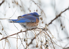 Western Bluebird (AshleyJensenAvianPhotography) Tags: blue wild bird nature birds animal montana unitedstates natural native wildlife small aves missoula western northamerica bluebird northern thrush songbird songbirds westernbluebird turdidae