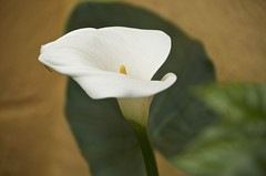 lily white (Pejasar) Tags: bloom lily white nature beauty antigua guatemala