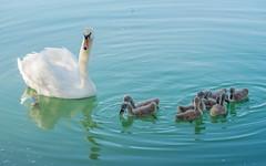 swan's family (18) (Vlado Ferenčić) Tags: birds animals lakes croatia swans animalplanet hrvatska nikkor8020028 nikond600 zaprešić swansfamily zajarki lakezajarki