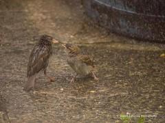 Feeding time in the Wind & Rain12 (Gareth Lovering Photography 3,000,594 views.) Tags: birds garden feeding wildlife feeder starling olympus sparrow 75300mm lovering em1 garethloveringphotography