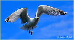 Hovering (lukiassaikul) Tags: wildlifephotography wildanimals urbanwildlife wildbirds largebirds birds seagull herringgalls sky fly flight wings bluesky