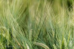 Korn (Floramon) Tags: korn cereals grn green halme hre natur nature